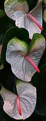 Anturium (suz kosh) Tags: red india white flower beauty delhi anthurium arrangement