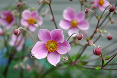 Pink Windflower (Japanese Anemone) (roddh) Tags: pink flower garden anemone windflower roddh