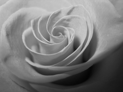 Black And White Rose Photography Black And White Rose