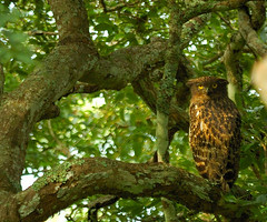 94532237-M-1 Brown Fish Owl (mohandep) Tags: brown fish birds shot wildlife 2006 owl bandipur anirudh sep8