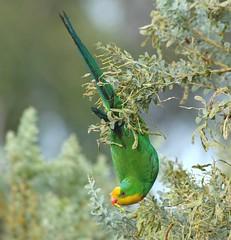 SUPERB PARROT  Polytelis swainsonii (beeater) Tags: birds superbparrot polytelisswainsonii specanimal animalkingdomelite