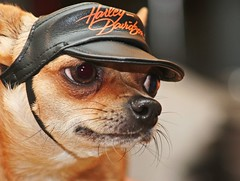 I eat Hondas for breakfast! (olikristinn) Tags: dog chihuahua cute hat iceland fierce sweet bokeh bad harley riding harleydavidson cuteness hog coolness li ds olikristinn