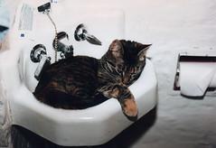 Cozy Sink (Angela.) Tags: nyc ny newyork slr film cat 35mm bathroom sink tabby kitty scan scanned 1994