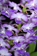 Rhynchostylis coelestis 'Blue Mountain' (Eric Hunt.) Tags: blue orchid flower purple d70 orchidaceae fragrant rhynchostylis rhynchostyliscoelestis