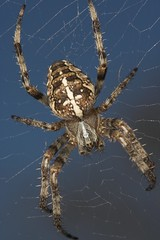 "Garden Cross Spider (Araneus diademat(2) • <a style=""font-size:0.8em;"" href=""http://www.flickr.com/photos/57024565@N00/245391401/"" target=""_blank"">View on Flickr</a>"