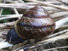uinuv  tigu- sleeping snail (j.anne4 ( Janne )) Tags: autumn flickr snail lumaca sgis tigu janne4janne