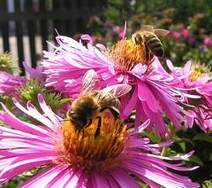 Bienenflei (multiflora) Tags: autumn flower garden wonder oneyear aster bienen naturesfinest supershot flowerscolors anawesomeshot