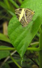 Dirce Beauty (Langooney) Tags: butterflies panama coloburadirce dircebeauty colobura