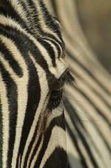 Zebra (tim ellis) Tags: africa white holiday black animal stripes ivory zebra namibia ebony etosha naturesfinest shongololo supershot msh0607 msh06076 mywinners mshbest mshbest1 bigpicture2008 hc120811 hv1208