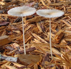 Two small mushrooms, against bark mulch - by Martin LaBar