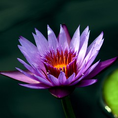 the water lily (jude) Tags: flowers flower nature closeup square bravo waterlily searchthebest quality 2006 explore jude judith squared excellence meskill judithmeskill lastdayofsummer magicdonkey interestingness22 outstandingshots twtme abigfave outstandingshotshighlight vision1000 highestposition22ontuesdayseptember262006 30faves30comments300views musicaltitle aplusphoto magicdonkey25 visiongroup 50faves50comments500views judeonflickr vision100