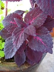 Coleus 'Unknown Burgundy/Red'