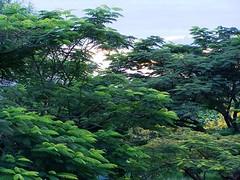 Sunset in Arusha (geoftheref) Tags: geoftheref travel africa safari tanzania sunset trees tree arusha green catchycolors flickr interesting interestingness afrika de lafrique afrikasafari σαφάρι τησ αφρικήσ dellafrica アフリカのサファリ 아프리카 원정 여행 áfrica сафари африки la tanzanie τανζανία tanzânia танзания ultimatshot theperfectphotographer superbmasterpiece smorgasbord pictureperfect nikoniste naturefinest natureelegantshots impressedbeauty goldenvisions flickrplatinum flickrdiamond fineartphotos diamondclassphotographer awesomeblossoms abigfave ysplix ultimateshot supershot platinumphoto overtheexcellence naturemasterclass masterphotos masterphoto masterclass infinestyle ilovemypic flickrsbest flickrbest damncool blueribbonwinner anawesomeshot amazingtalent amazingshot amazing plant plants nature