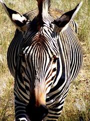 Namibian Zebra (geoftheref) Tags: africa travel wild nature animal de la interestingness amazing interesting flickr wildlife il safari zebra afrika namibia pictureperfect namibian damncool smorgasbord masterclass  frica namibie lafrique blueribbonwinner supershot amazingtalent amazingshot namibi flickrsbest  fineartphotos masterphotos abigfave geoftheref nambia nikoniste platinumphoto anawesomeshot impressedbeauty flickrbest dellafrica ultimateshot flickrplatinum ultimatshot superbmasterpiece naturefinest infinestyle diamondclassphotographer flickrdiamond ysplix ilovemypic  masterphoto overtheexcellence afrikasafari  theperfectphotographer  naturemasterclass natureelegantshots  awesomeblossoms        goldenvisions