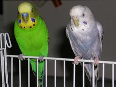 Hanging Out (mexter) Tags: cute bird wet bath parrot sugar budgie parakeet perch kiwi keet