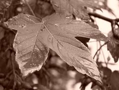 Maple leaf - Sepia