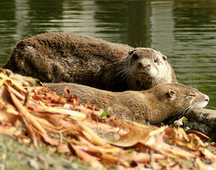 Otter Mom And Her Baby (shesnuckinfuts) Tags: family sofa wa furryfriday washingtonstate mammals coolest otters animalplanet backyardpond kentwa saywa experiencewa animaladdiction specanimal otterfamily animalkingdomelite shesnuckinfuts naturetrophy animalencountersset