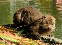 Another Otter Visit (shesnuckinfuts) Tags: wildlife furryfriday coolest otters animalplanet backyardpond kentwa specnature animaladdiction specanimal otterfamily shesnuckinfuts washingtonstatewildlife
