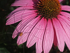 PICT4291 (Talsi1) Tags: flower insect spider coneflower