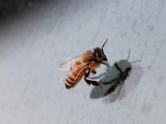 wash me (Watari Goro ) Tags: macro window wings nikon bee d200