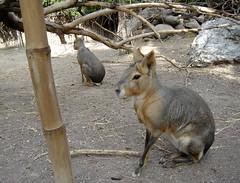 Liebres de la Patagonia (Alicia Guzmn Moya) Tags: animals animales animaladdiction aligu2001 liebres aliciaguzmnmoya