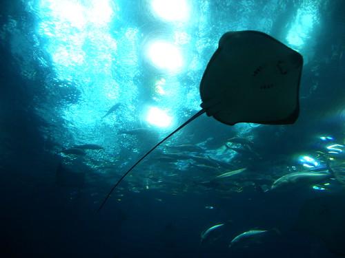 Manta raya en Okinawa Churaumi Aquarium