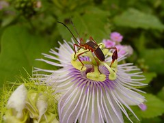 Pasiflora y chinche (Anisoscelis affinis) (* Hi Tech Bio *) Tags: naturaleza flower nature méxico bug flor passiflora monterrey morado chinche nuevoleón estanzuela coreidade herbácea anisoscelis anisoscelisaffinis