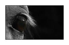 Eye (ystein Lid) Tags: horse eye olympus e300 evolt