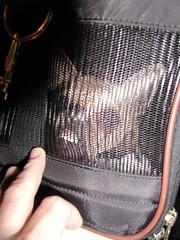 Vicious! (GerryLand) Tags: chihuahua attitude smalldog traveling vicious dogcarrier sherpabag