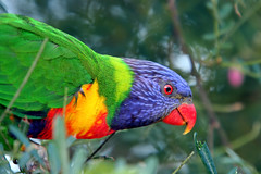Rainbow Lorikeet. (Brenda-Starr) Tags: nature birds fauna native wildlife australian parrot australia newsouthwales rainbowlorikeet animalplanet october2006 blaxland featheryfriday thecontinuum outstandingshots animaladdiction specanimal animalkingdomelite wildlifewarriors wildlifeofaustralia