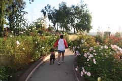 Down the rosey path (ewen and donabel) Tags: dog labrador farley balboapark chocolatelabrador heartwalk donabel