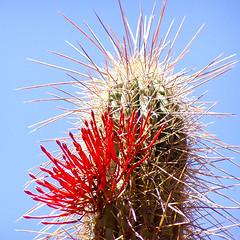 Cactus & Quintral Flowers (Farellones-Chile) (Leon Calquin) Tags: chile flowers cactus leon farellones calquin leoncalquin quintral parasiticalflower