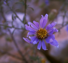 Grand Canyon Wildflower - by cobalt123