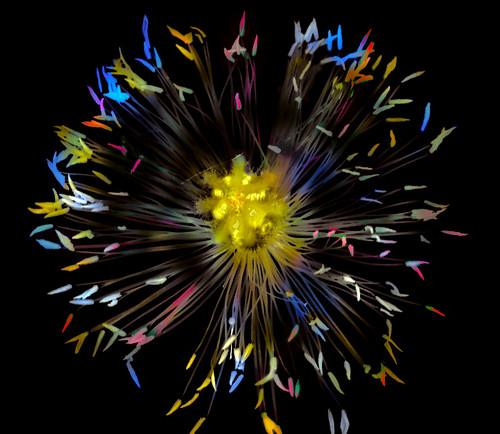 Fireworks (Papaver)