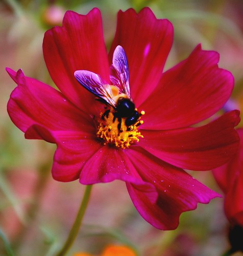 Pink Flower with a Bee