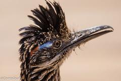 Correcaminos Grande, Greater Roadrunner (Geococcyx californianus) (Corriplaya) Tags: crystalcovestatepark aves california correcaminosgrande greaterroadrunner geococcyxcalifornianus