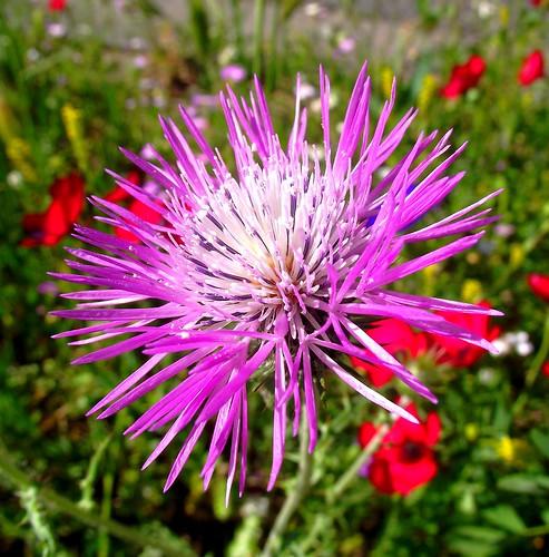 PERPIGNAN FLOWER WEED