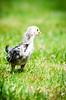 Baby Chickens-27 (sammycj2a) Tags: chick chickens backyardfarm farm chicks pullets straightrun backyard nikon nikkor lightroom