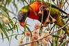 Rainbow Lorikeet eating the gum blossoms (Merrillie) Tags: blossoms australia birds parrots newsouthwales gumnuts eucalypts wild wildlife lorikeet nsw rainbowlorikeet gumnutblossoms warnersbay animals fauna nature gumtree euc