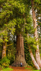 prairie creek  redwoods 4-12-18-5254ps (Light of the Moon Photography) Tags: redwoods national park state prairie creek big tree tiny man jolly green giant california largest world selfie