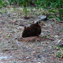 RABBIT ON THE HUNT (R. D. SMITH) Tags: rabbit landscape outside nature crop naturephotography squareformat animal ground square tiny grass canonrebelxsi