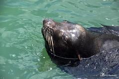 DSC_0556 (RachidH) Tags: sea lions seals sealions californiasealion zalophus zalophuscalifornianus otarie otariedecalifornie pier39 fishermanswharf rachidh nature sanfrancisco sanfranciscobay sanfran