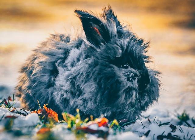 The Angora Bunny Ibsen