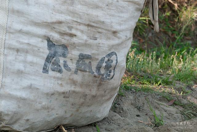 原來地瓜是這樣採收,還有人專門撿剩下的蕃薯(4)