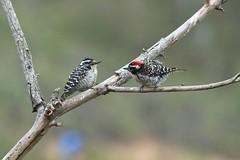 Nuttall's Woodpeckers (christopheradler) Tags: california nuttallii nuttalls picoides woodpecker pair