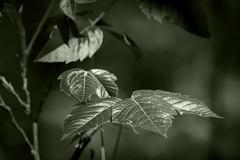 Poison in Kansas (pdecell) Tags: poison ivy kansas monochrome green