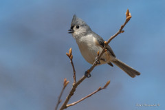 Titmouse greeting the day (Earl Reinink) Tags: spring tree woods outdoors bird animal nature wildlife earl reinink earlreinink titmouse tufftedtitmouse aoaizdpdza