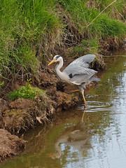 2018.05.10 Seaton (35) (Kotatsu Neko 808) Tags: seaton devon birds heron greyheron