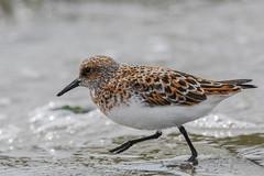 Sanderling (Minder Cheng) Tags: sanderling flemingpoint albany california unitedstates us