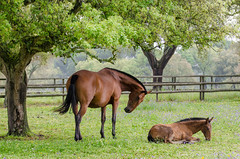 Some rest under the oak tree (Chaudiere J) Tags: lusitano breed horse cavalo companhia lezirias foal mare eguada